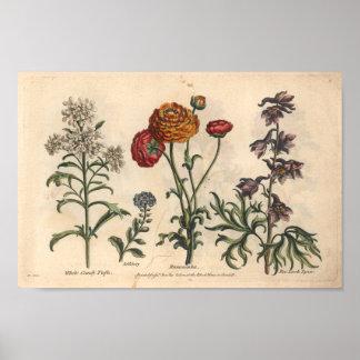 1757 Botanical Flower Art Print Candytuft