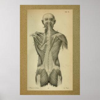 1850 Vintage Anatomy Print Back Muscles