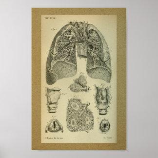 1850 Vintage Anatomy Print Lungs Internal