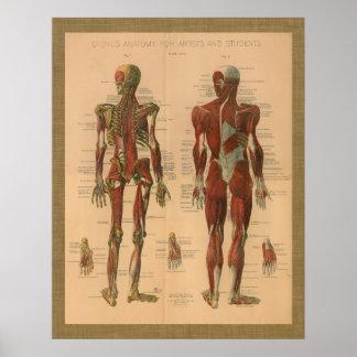 1888 Skeletal Muscle Anatomy Vintage Poster