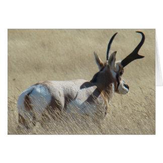 A0014 Pronghorn Antelope Card