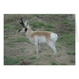 A0026 Pronghorn Antelope Card