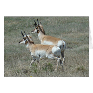 A0027 Pronghorn Antelope Young Bucks Card