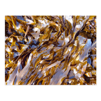 A brown seaweed on the surface of the sea. postcard