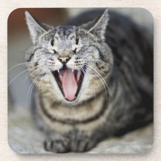 A cat yawning, Sweden. Coaster