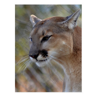 A Cougar in deep thought Postcard