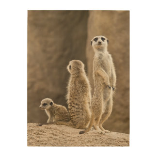 A Family Of Meerkats: Father, Mother And Baby Wood Print