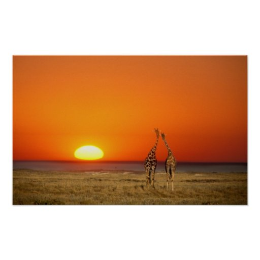A Giraffe couple walks into the sunset, in Poster