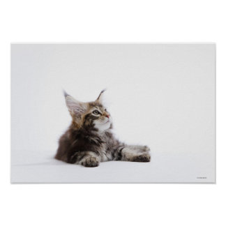A kitten of Maine Coon cat Poster