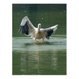 A pelican drying its wings postcard
