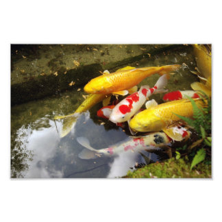 A waterway full of Japanese koi carps Photograph