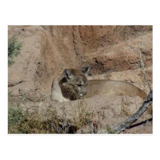 Acrylic Style Cougar Photo Postcard