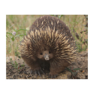 Adorable Australian Echidna Wood Print