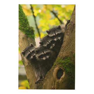 Adorable Baby Raccoons Wood Canvas