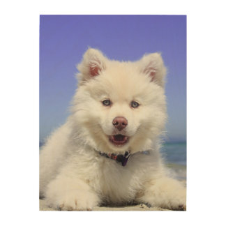 Adorable Finnish Lapphund at the beach Wood Wall Art