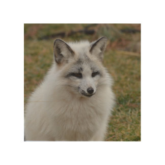 Adorable White Fox Wood Print