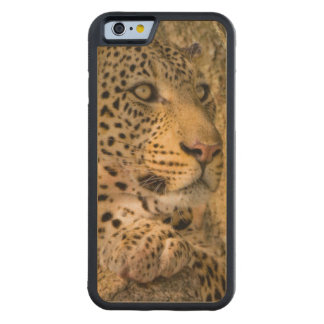 Adult Leopard (Panthera Pardus) Rests Carved Maple iPhone 6 Bumper Case