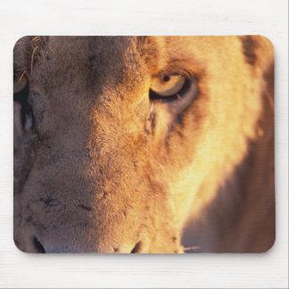 Africa, Botswana, Okavango Delta. Lion close Mouse Pad
