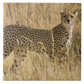 Africa. Kenya. Cheetah at Samburu NP. 2 Tile