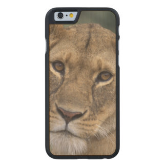 Africa, Kenya, Masai Mara Game Reserve, 2 Carved Maple iPhone 6 Case