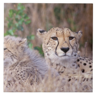 Africa, South Africa, Tswalu Reserve. Cheetahs Tile