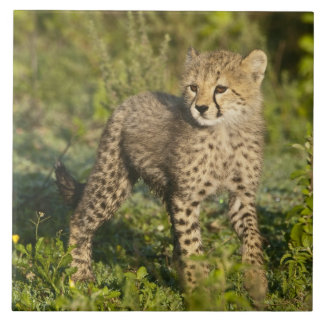 Africa. Tanzania. Cheetah cub at Ndutu in the Tile