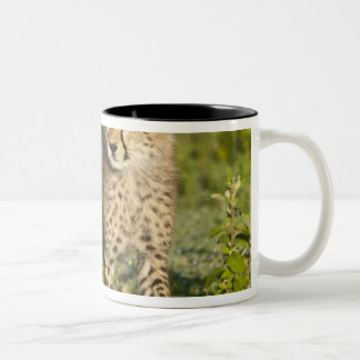 Africa. Tanzania. Cheetah cub at Ndutu in the Two-Tone Coffee Mug