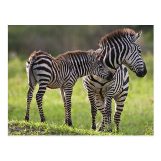 Africa. Tanzania. Common Zebra mother and baby Postcard