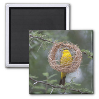 Africa. Tanzania. Female Black-Necked Weaver Square Magnet