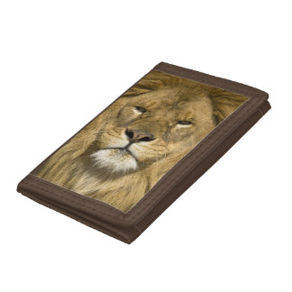 African Barbary Lion, Panthera leo leo, one of Trifold Wallet