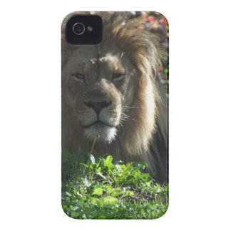 African Lion iPhone 4 Covers