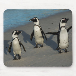 African Penguins | Spheniscus Demersus Mouse Pad