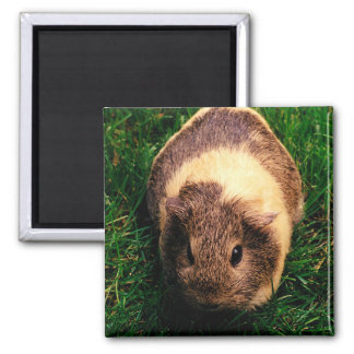 Agouti Guinea Pig in the Grass Square Magnet