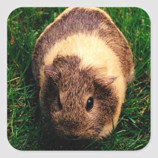 Agouti Guinea Pig in the Grass Square Sticker