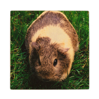 Agouti Guinea Pig in the Grass Wood Coaster
