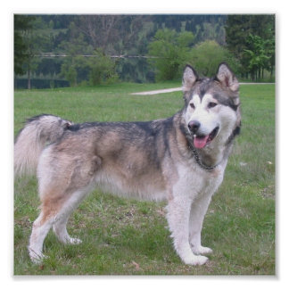 Alaskan Malamute Dog Poster