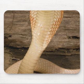 Albino Monacled Cobra, Naja kaouthia, coiled Mouse Pad