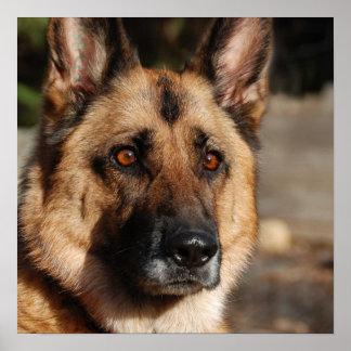 Alert German Shepherd Posters
