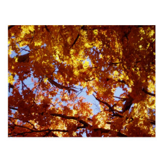 Along the Road - Maple Leaves in the Sun Postcards