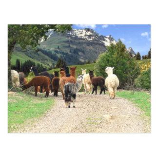 Alpaca Trail Postcard