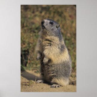 Alpine Marmot, Marmota marmota, adult standing Poster