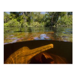Amazon River Dolphins (Inia geoffrensis) Ariau Postcard