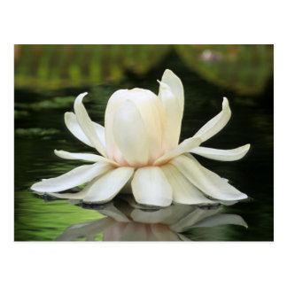Amazon Water Lily (Victoria Amazonica) Flower Postcard