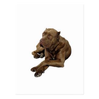 American Bandoge Mastiff Postcard
