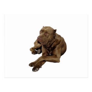 American Bandogge Mastiff Postcard