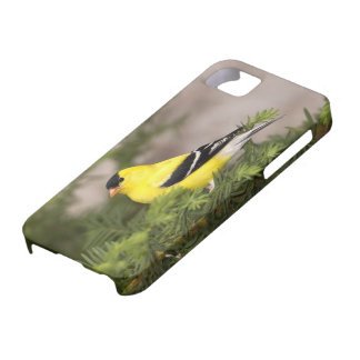 American Goldfinch male in a tree iPhone 5 Case