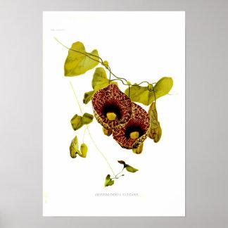 Aristolochia elegans poster