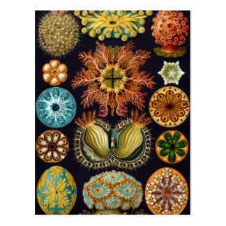 Ascidiae by Ernst Haeckel, Vintage Marine Animals Postcard