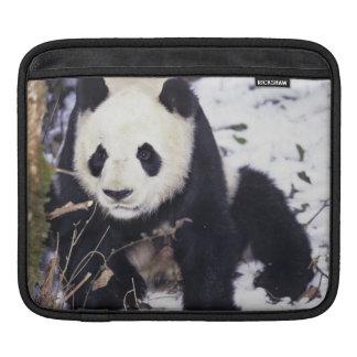 Asia, China, Sichuan Province. Giant Panda in 2 iPad Sleeve