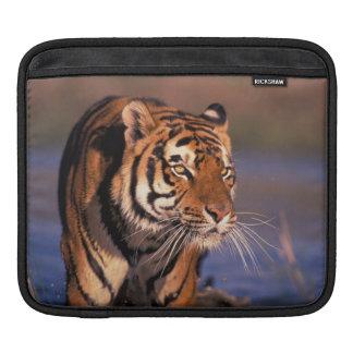 Asia, India, Bengal tiger Panthera tigris); iPad Sleeve